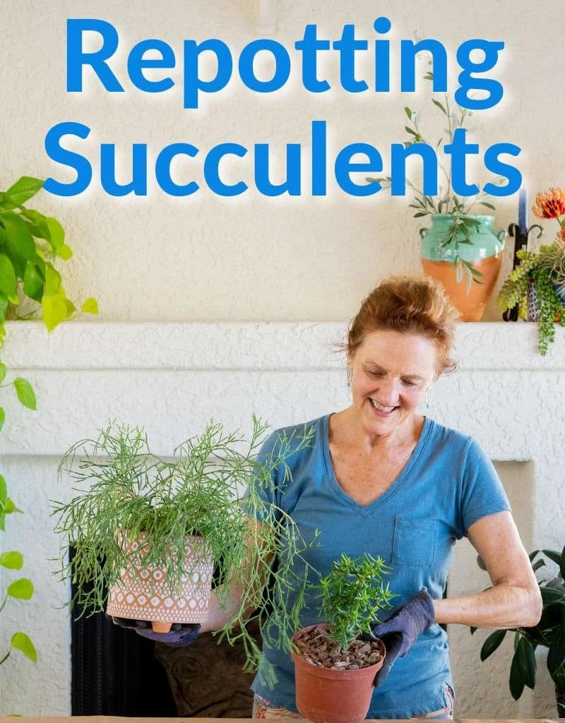 nell foster holds 2 succulent plants the text reads repotting succulents