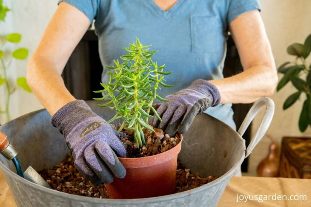 2 hands in acton are repotting a miniature pine tree succulent