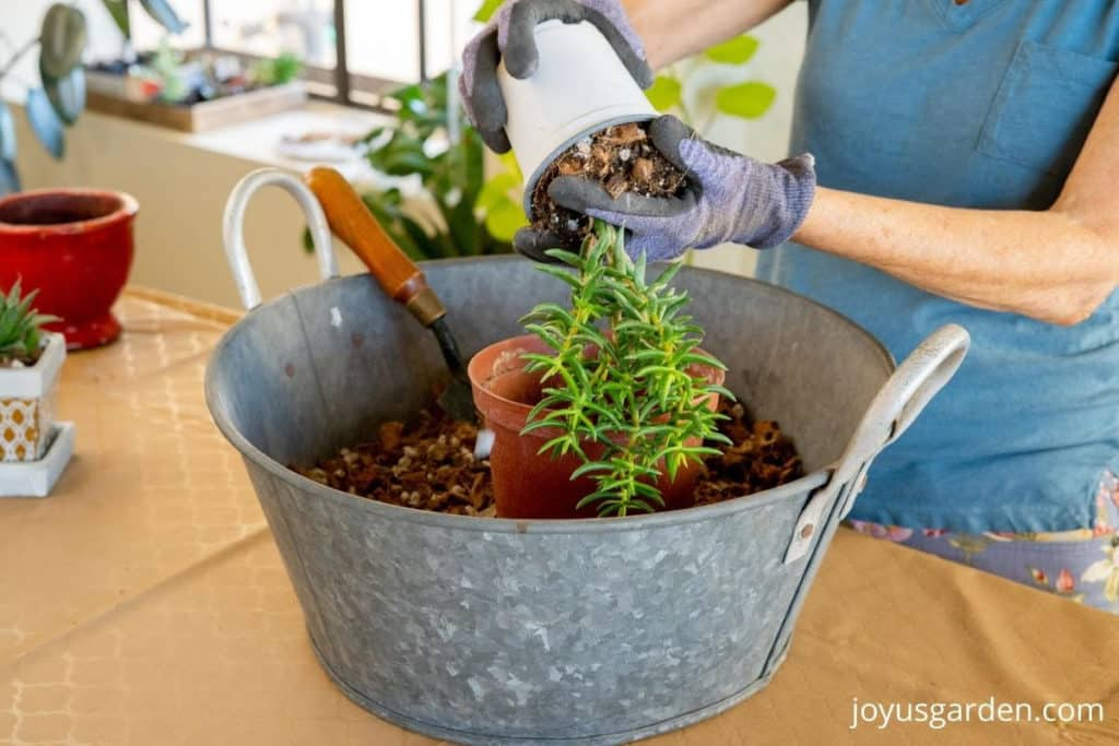 2 hands take a miniature pine tree succulent out of its grow pot over a bin of succulent soil mix
