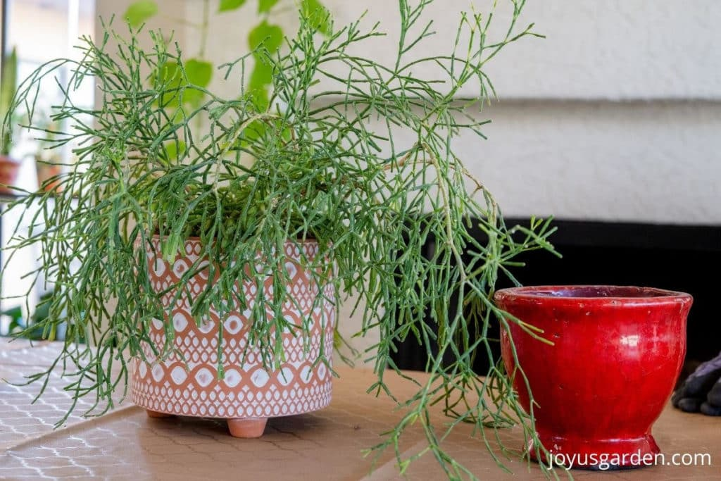 a dancing bones succulent in a patterned terra cotta pot sits next to an empty red ceramic pot