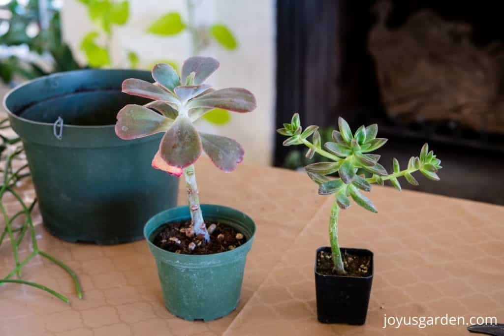2 small succulents sit on a table indoors