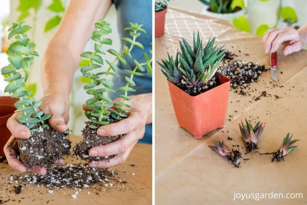 a split photo shows a succulent being divided on 1 side & pups removed off another succulent on the other side