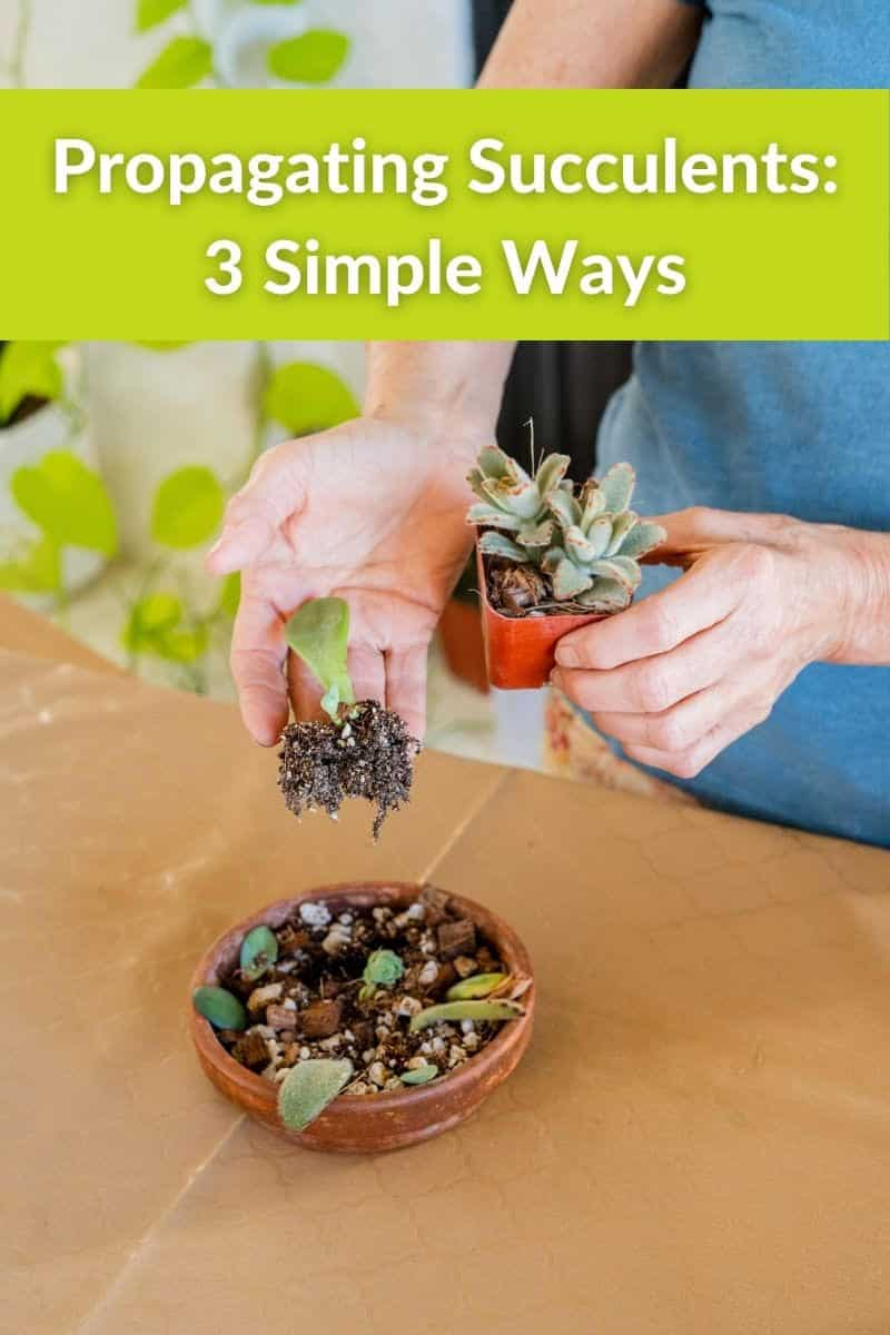 2 hands hold small succulents that have been propagated the text reads propagating succulents 3 simple ways