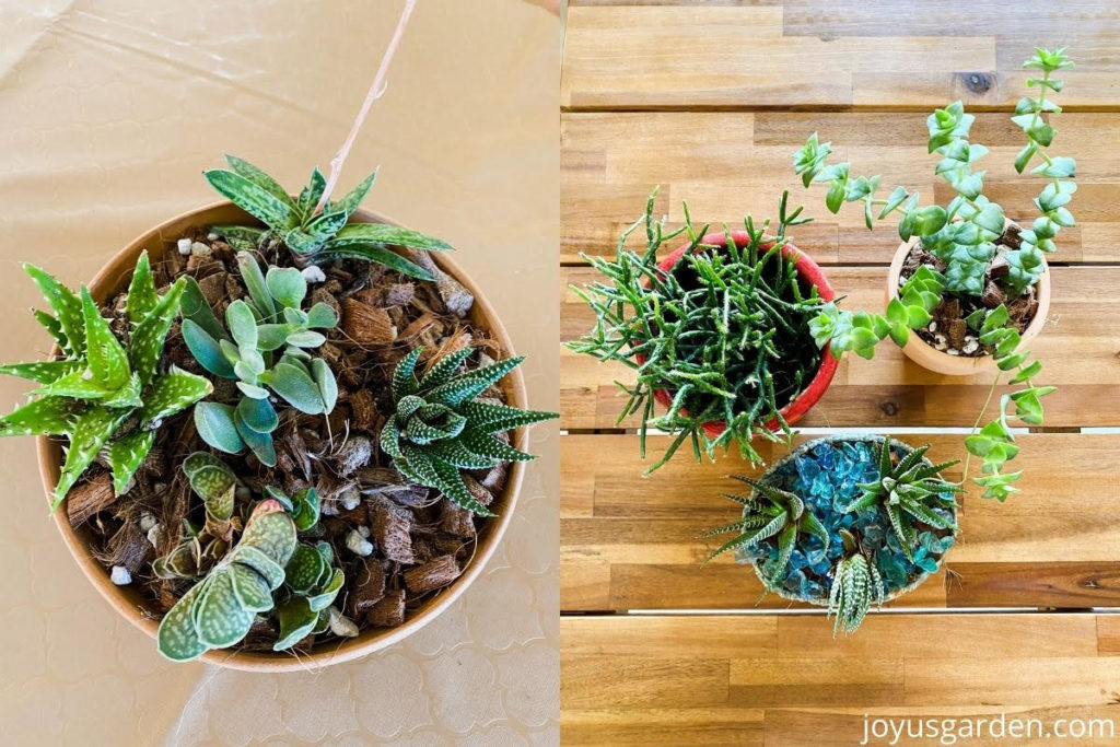 a split image shows a succulent bowl on 1 side & 3 small succulents on the other side