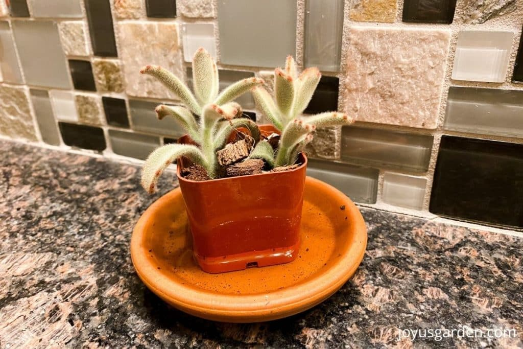 a panda plant succulent in a small grow pot sits n a saucer full of water