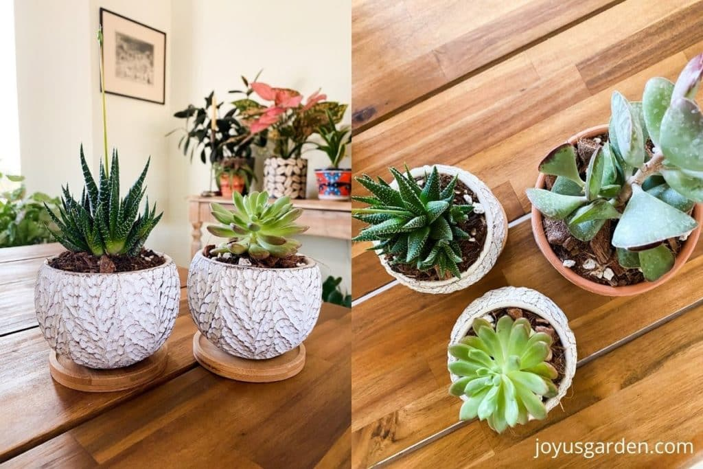 a split image showing 5 small succulent houseplants in small pots