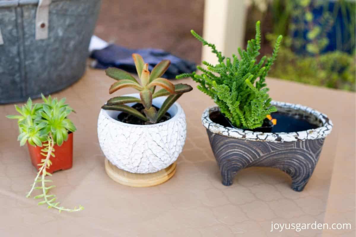 3 small succulent plants & 2 pots sit on a table