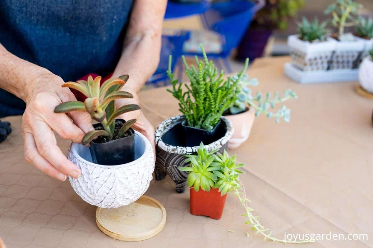 2 hands are placing a small succulent plant into a small ceramic other small succulents & pots are on the table