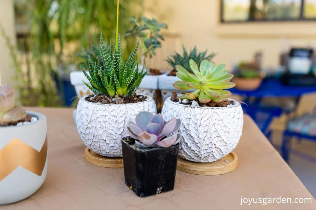 close up of small succulent plants and small pots on a table outdoors