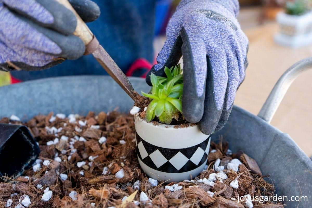 a small succulent is being planted into a small ceramic pot it sits in a tin of succulent soil mix