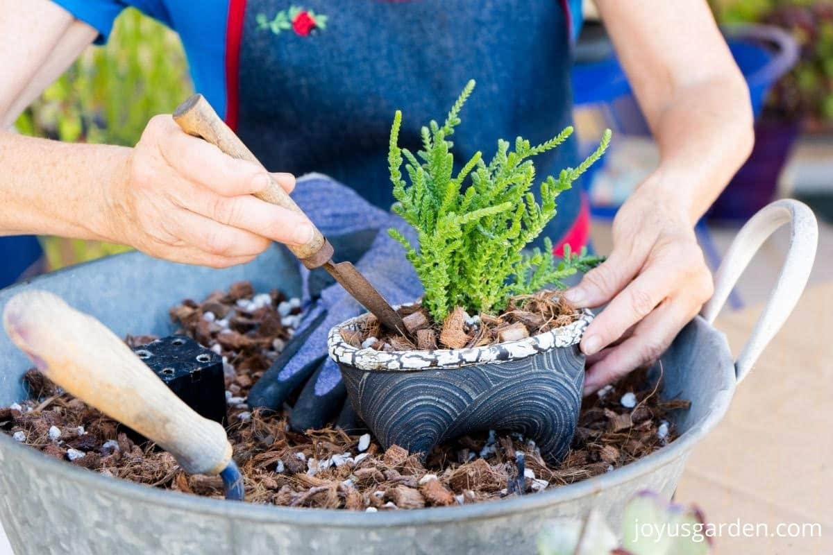 a mini trowel is planting a small succulent plant into a small ceramic it sits in a tin of succulent soil mix