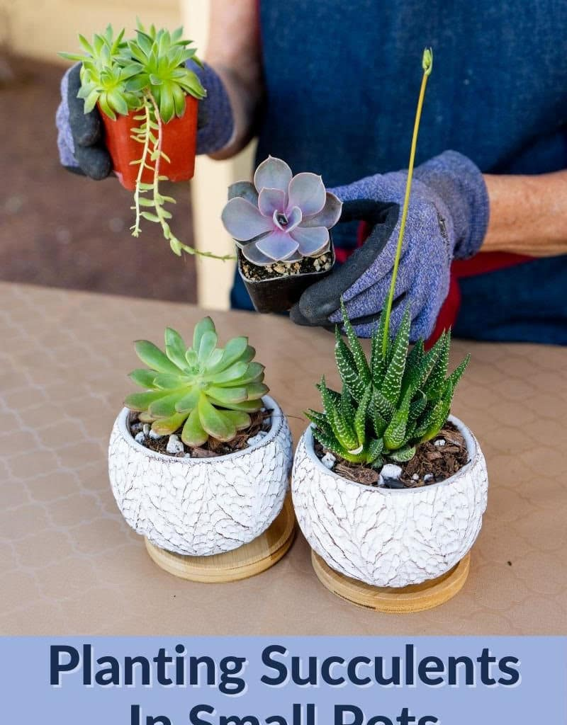 2 hands hold 2 small succulents there are 2 succulents in ceramics on the table the text reads planting succulents in small pots