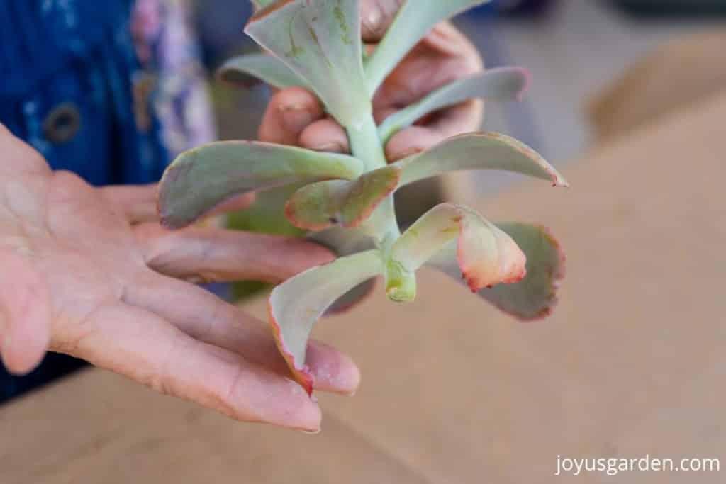 close up of 2 hands holding the cut stem of an echeveria succulent