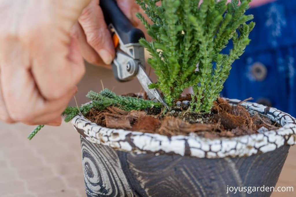 a pair of floral snips cut off a broken stem oof a Princess Pine Crassula