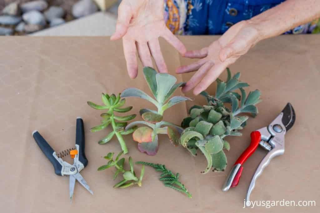2 hands showcase a variety of succulent plant stems with pruning tools on either side