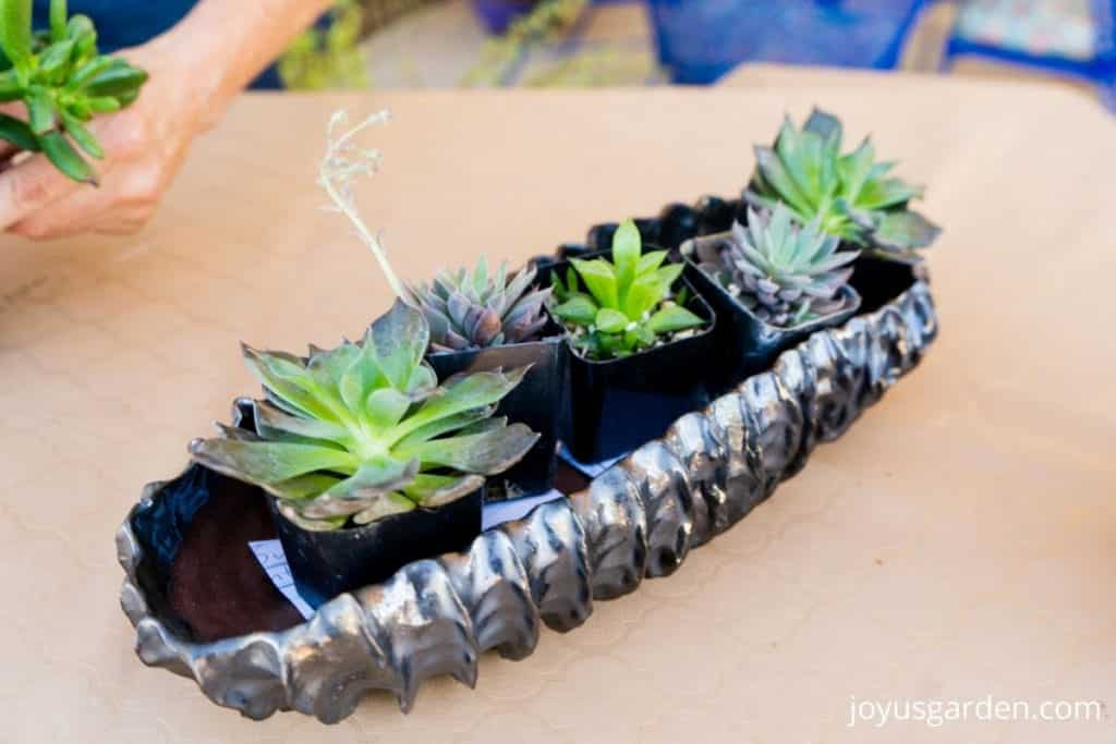 5 small succulent plants are laid out in a handmade bronze metallic planter dish