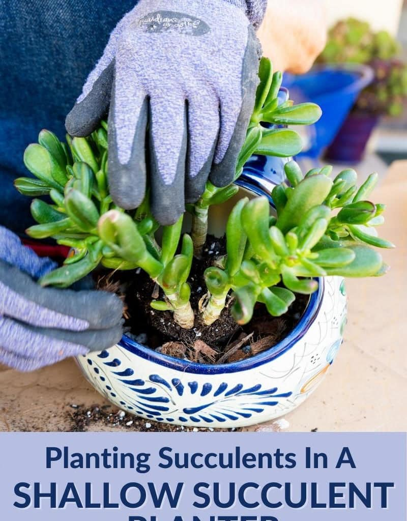 2 hands are planting a small jade plant into an odd-sized cat planter the text reads planting succulents in a shallow succulent planter