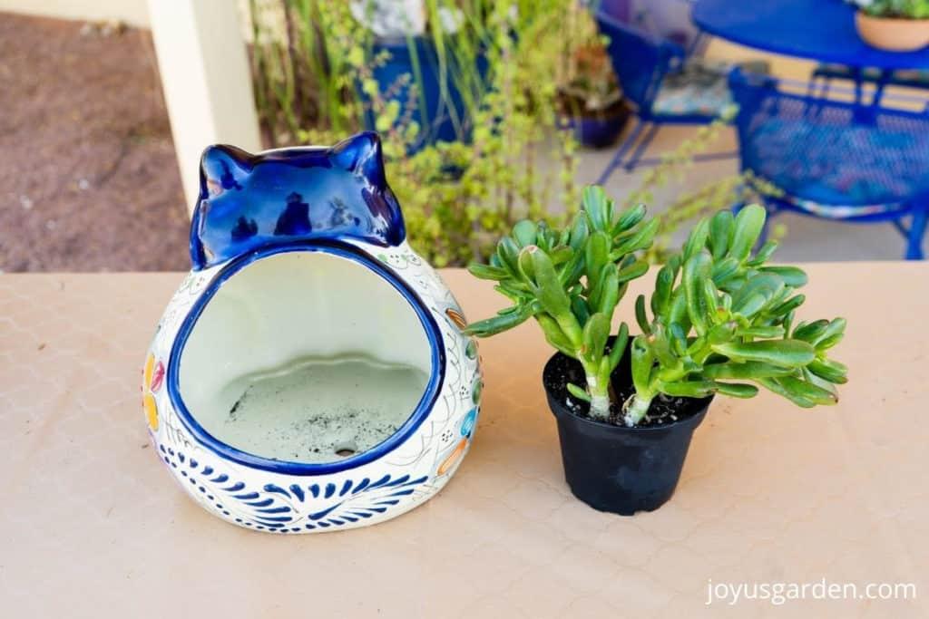 """a 4"""" jade plant succulent sits next to a talavera cat ceramic pot"""