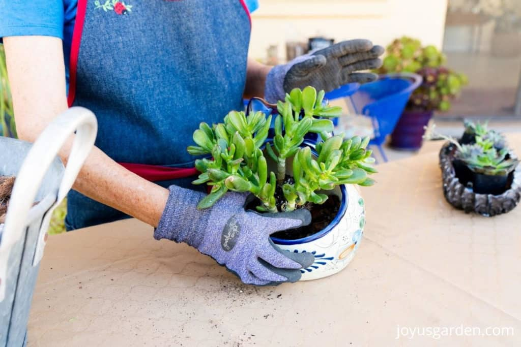 1 hand plants a small jade plant succulent into a talavera cat planter a low bronze dish filled with succulents sit nearby