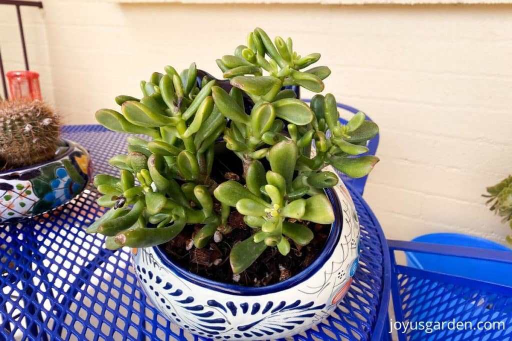 close up of a small jade plant planted in an asymmetrical cat talavera planter
