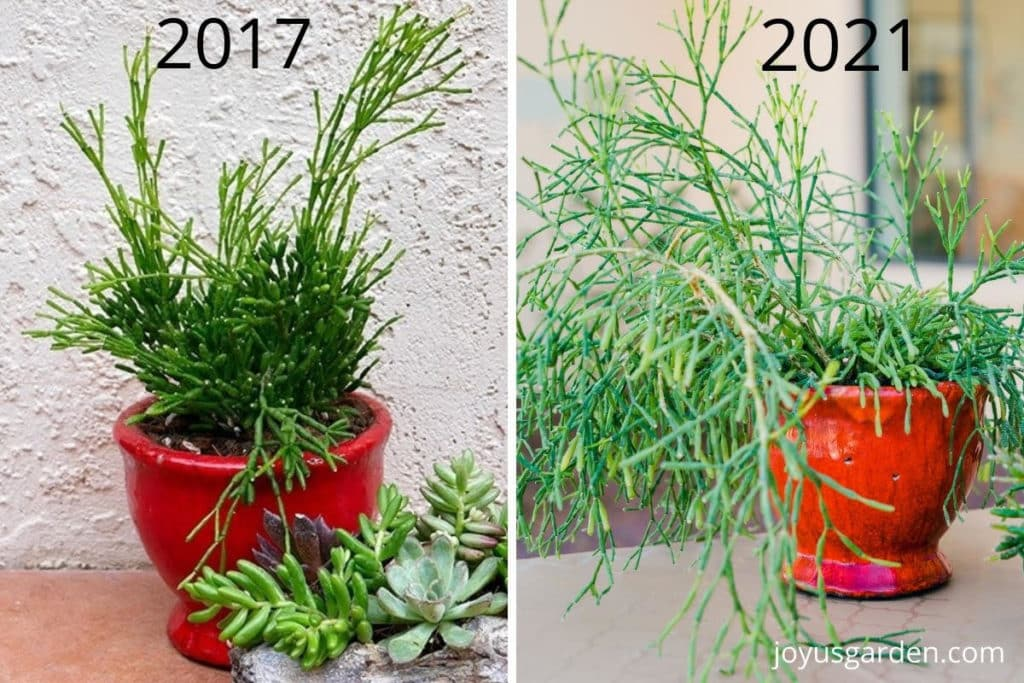 side by side photos of a dancing bones cactus in a red pot one says 2017 & the other 2021