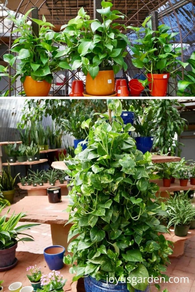 a collage of 2 photos 3 smaller pothos plants growing on moss poles in ceramic pots on the top & 1 large pothos plant growing on a stake on the bottom