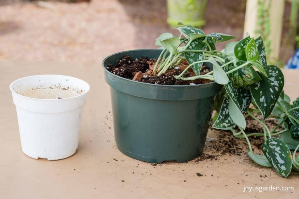 "an empty white 4"" grow pot sits next to a scindapsus pictus satin pothos in a 6"" pot"