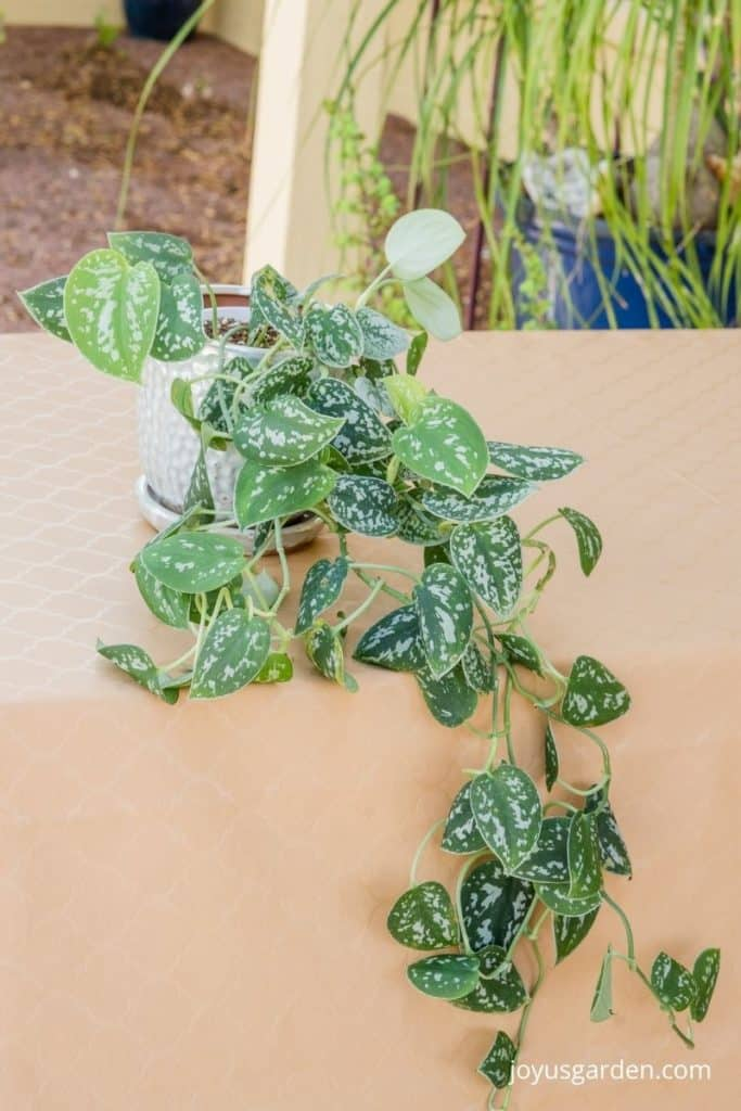 a small scindapsus pictus satin pothos with long trails sits on a table outdoors