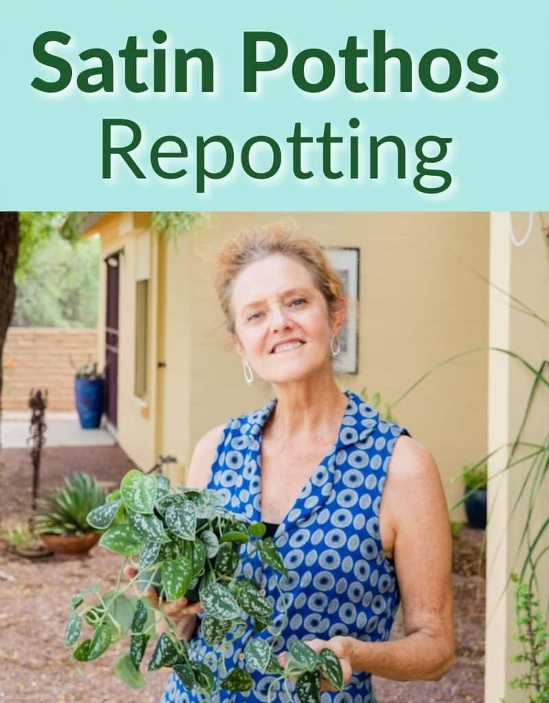 a woman holds a scindapsus pictus with trails the text reads satin pothos repotting