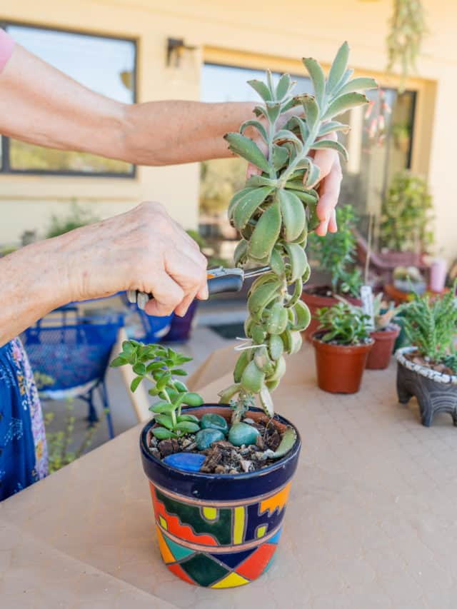 What To Do With Succulents With Long Stems