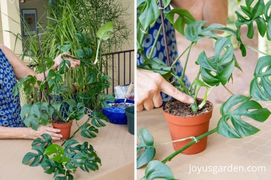 a collage with 2 photos showing a rhaphidophora terrasperrma houseplant with a long stem & new growth