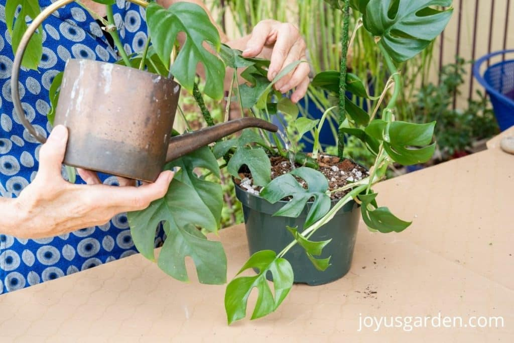 a copper watering can is watering a mini monstera houseplant