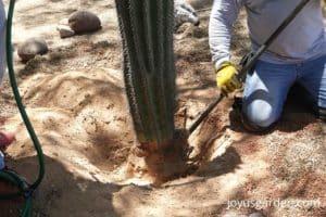 a saguaro cactus and a shovel