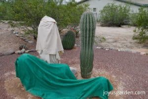 4 saguaro cacti under sheets and one cactus uncovered