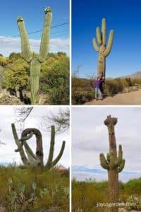 4 different mature saguaro cacti