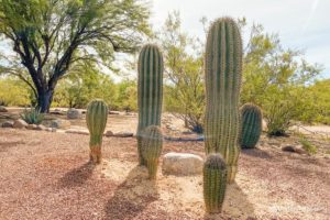 5 saguaro cacti