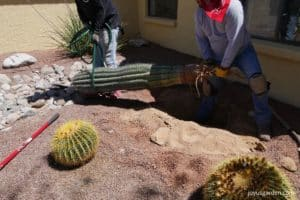 men carrying saguaro cactus