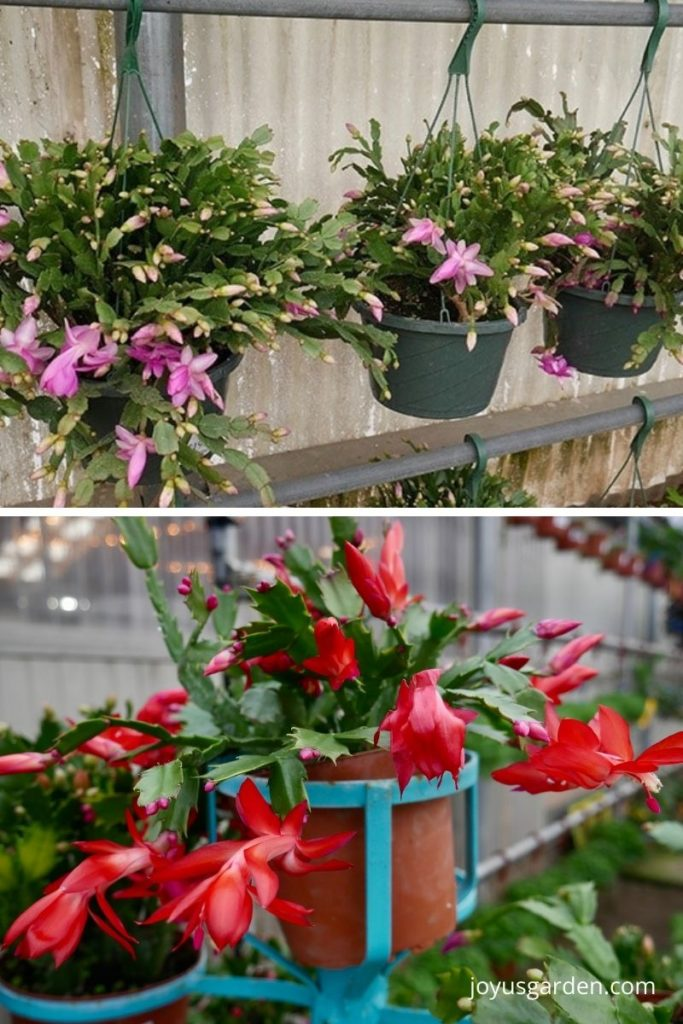 a collage of christmas cactus in a greenhouse 3 in hanging pots have violet flowers & 1 in a clay pot is bright red